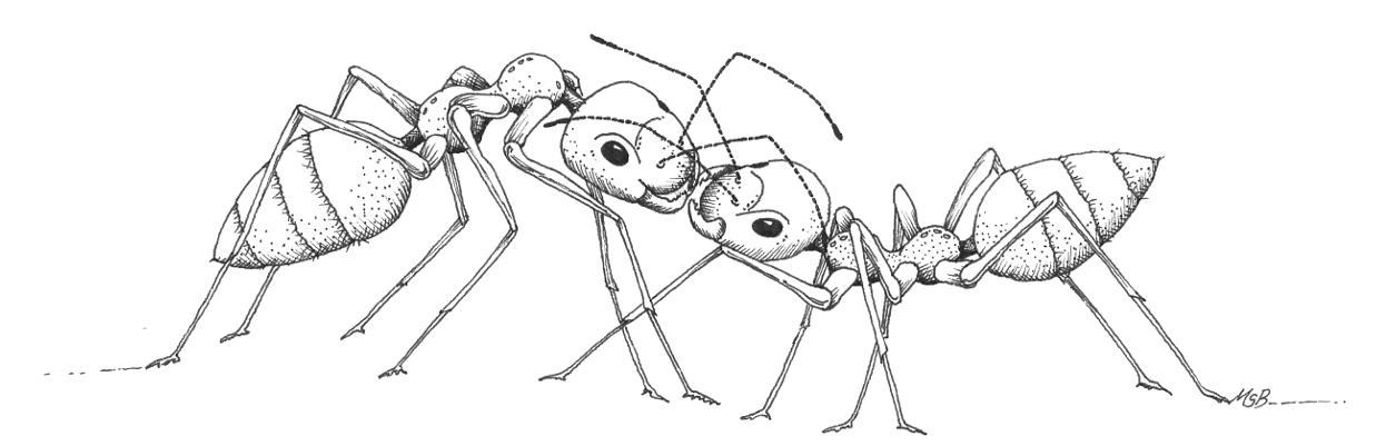 Ants feeding each other
